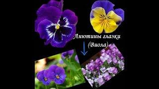 50 цветов,  дающих САМОСЕВ. Клумба без хлопот!