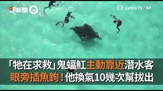 鬼蝠魟主動靠近潛水客求救  眼旁插魚鉤!他換氣10幾次幫拔出|動物|國際