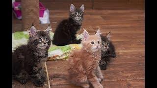 22.12.2018 - котята Аврорки * порода: Мейн-кун * возраст: 2 мес. *