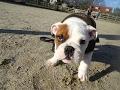 Arthur - English Bulldog Puppy - 5 Weeks Residential Dog Training