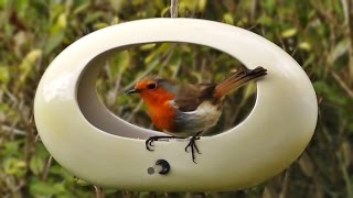 Robin And Bullfinch In The Oval Bird Feeder