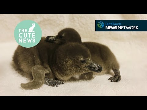 Cuddling penguin chicks, a sprinkler-loving emu & baby bears cause a traffic jam
