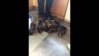 Training Border Terrier Puppies 5 Weeks Old