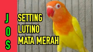 Download lagu Setting lutino mata merah lovebird ngekek panjang
