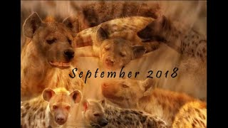 September 2018 Hyena Report