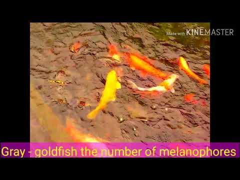 Fish- Different Types Of Freshwater Fish, Godfish, Angelfish,Carp,Comet Goldfish, Mollyfish &  Bream