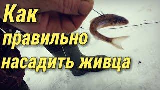 Як правильно насаджувати живця на гачок.Зимова риболовля