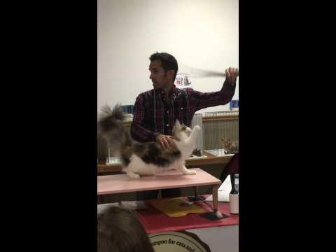 MaineCoon Kitten at Canadian Cat Association