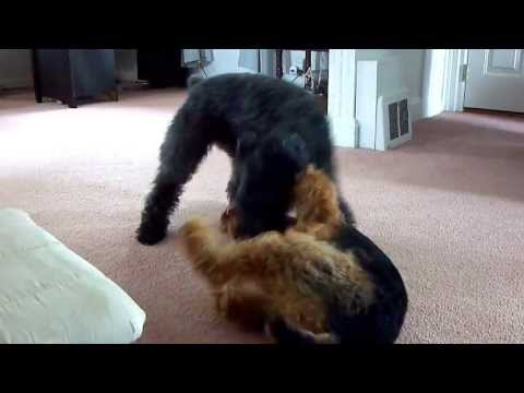 Kerry Blue Terrier VS Airedale - the adventures of Hitch and Griffon Episode 2