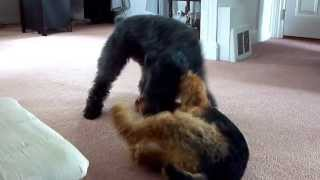 Kerry Blue Terrier VS Airedale  the adventures of Hitch and Griffon Episode 2
