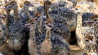 OSTRICH CHICKS FOR SALE LAHORE DR.ASHRAF SAHIBZADA.wmv