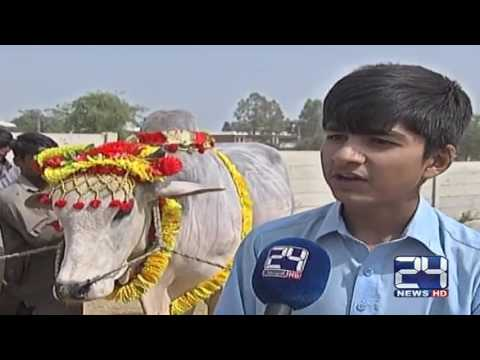 24 Report: Babloo is the focus of poeples in Islamabad Cattle Market
