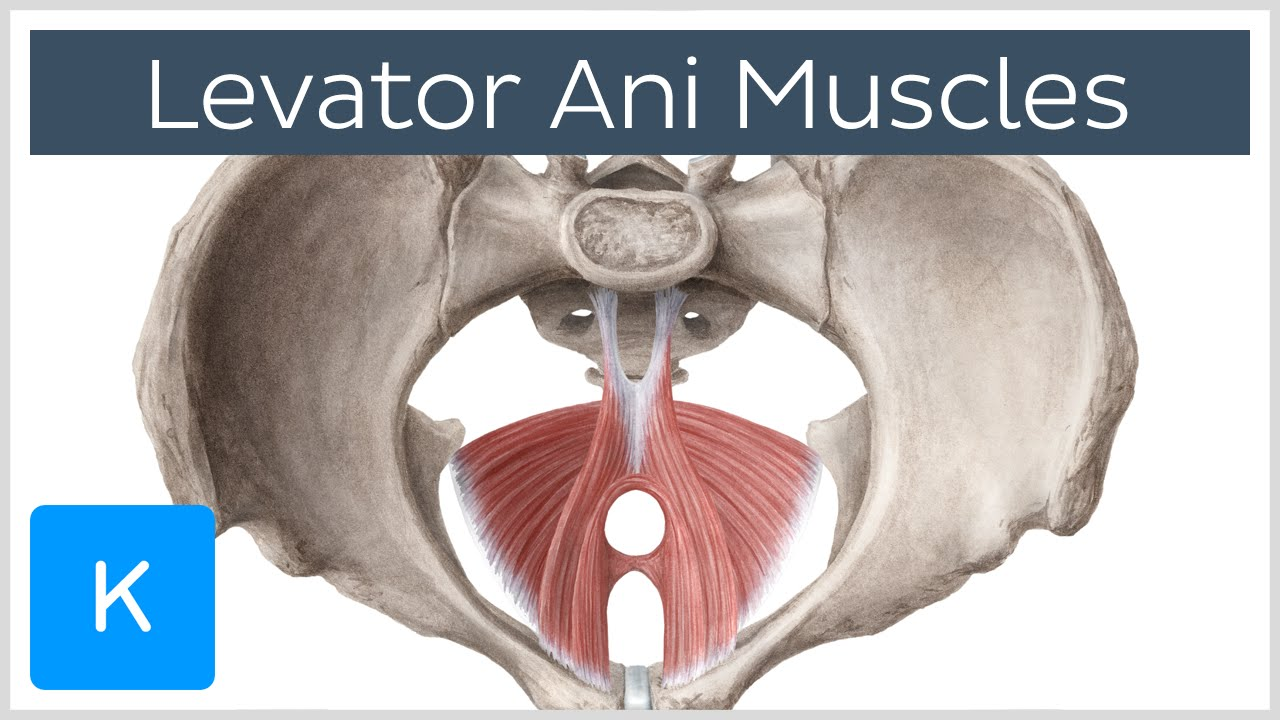 Really. All Anus elevator muscle consider