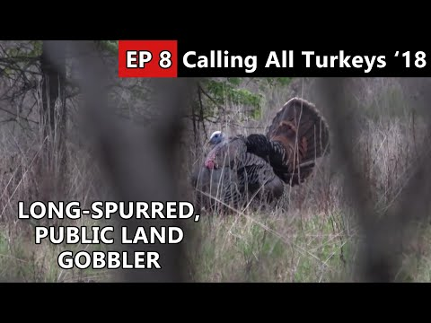 GIANT SPURS! - More Public Land Gobblers - Calling All Turkeys