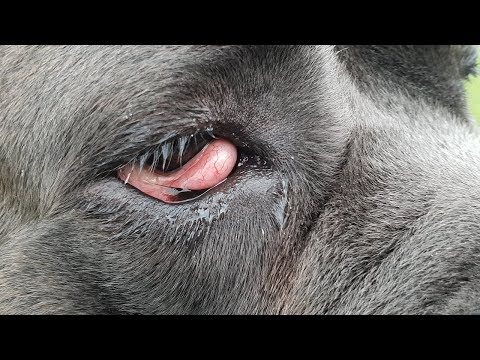 DOG CHERRY EYE Cause, Remedy and Surgery Options
