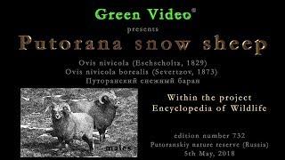 Putorana snow sheep / Путоранский снежный баран / Ovis nivicola borealis. Green Video Wildlife