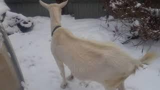 Как мы покупали козу