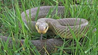 Snake : Saettone / Zamenis longissimus