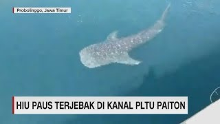 Penampakan Hiu Paus Terjebak di Kanal PLTU Paiton