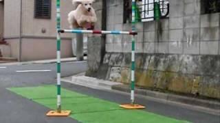ミニチュア犬のハイジャンプ練習風景 一ヶ月ぶりの練習に少々興奮気味?...
