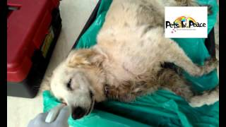 pets cremation golden Fifi taman segar born - 18 Dec 2013 by Pets in Peace Malaysia