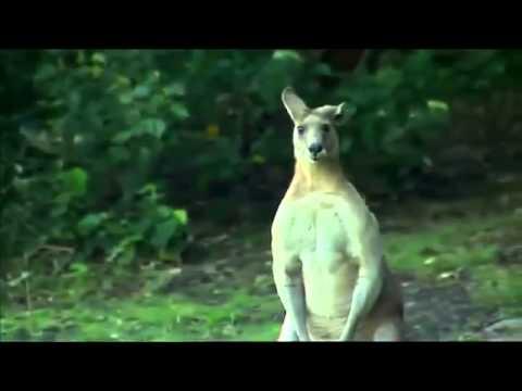Bu Kanguru Çok Kaslı