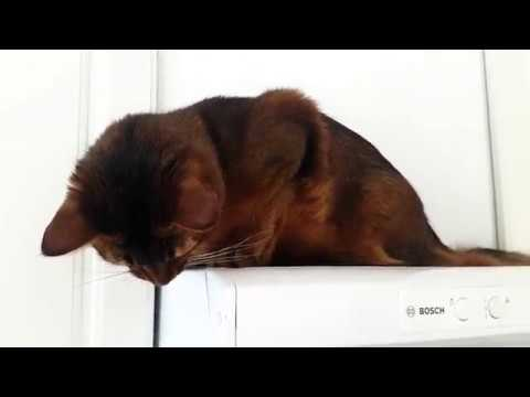 Somali cat Koda comments my cooking