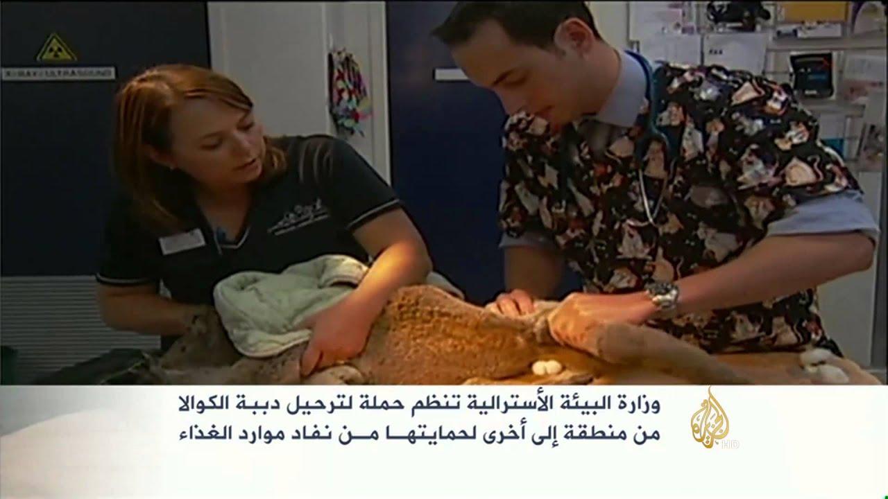 الجزيرة: حملة إسترالية لإعادة توطين دببة الكوالا