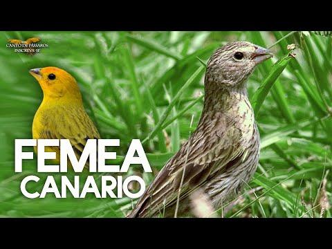 FÊMEA DE CANÁRIO TERRA CHAMANDO - Esquente seu canário !!!
