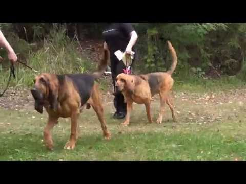 Finnish Bloodhound Association Competition Best of Breed & Best Opposite Sex