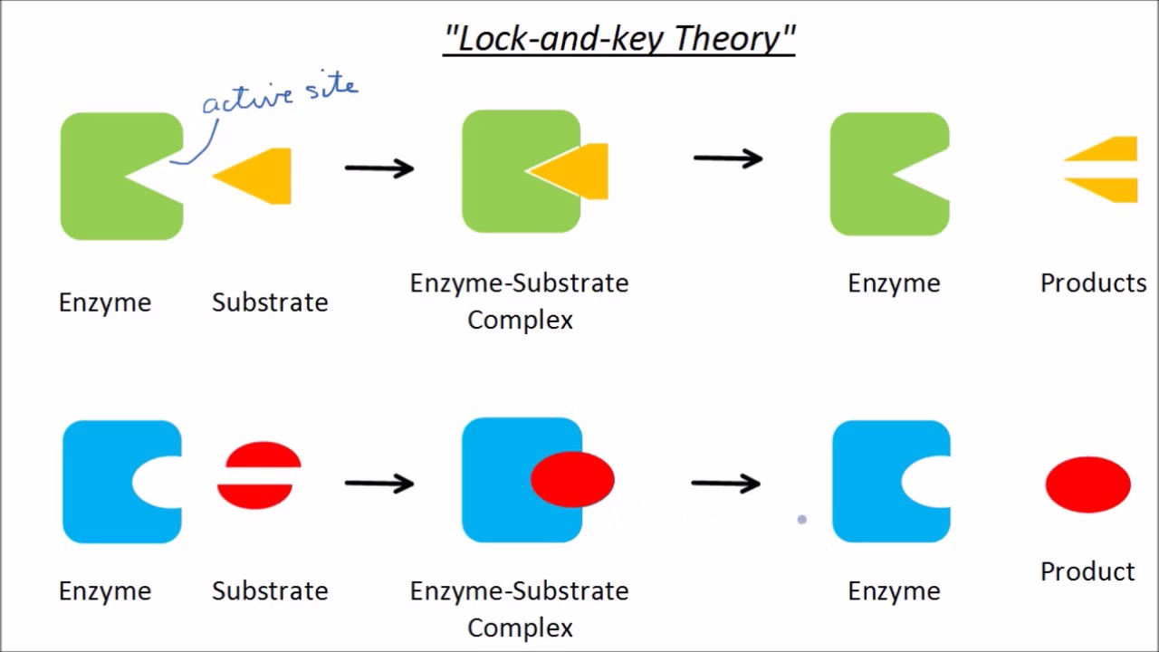 Enzymes & Factors Affecting Enzymes | GCSE Science ...