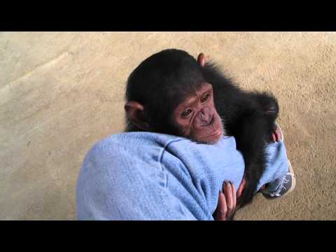 Baby Chimps,Monkey,Baby chimpanzee,pet chimp,婴儿黑猩猩,chimpanzé bébé,Детские шимпанзе,chimpancé bebé