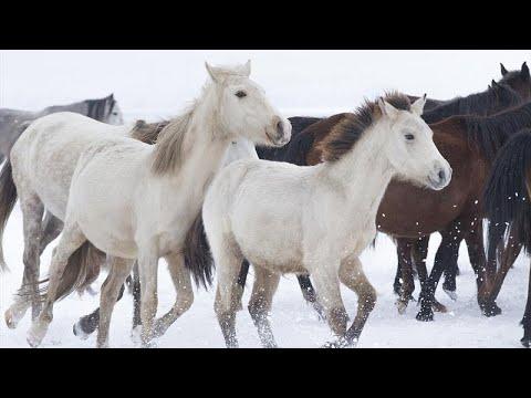 Download Yılkı Atları Kırgızların Elinde Evcilleşiyor Mp3 3gp Mp4
