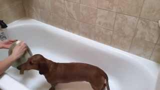 Dachshund Takes A Bath - Timelapse