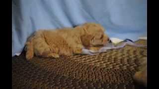 Westie-poo Puppies For Sale