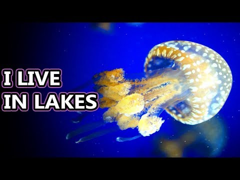 Spotted Jellyfish Facts: There's More Than One Spotted Jelly! | Animal Fact Files