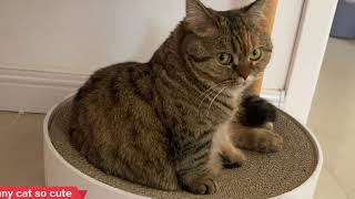 Funny cat so cute 丨 Munchkin cat Boring everyday life 2 丨TOP cat
