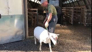 Зааненская молочная коза. Продажа: 90 т. руб