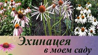 видео Эхинацея пурпурная - выращивание в саду