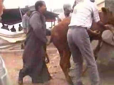 189 Morocco Rabat cattle market