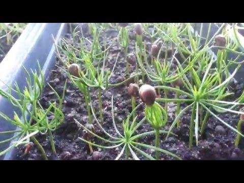 Агроопыт Кедр или Проращивание кедровой сосны