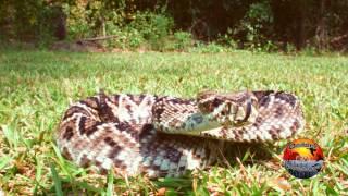 Rattlesnake Strike