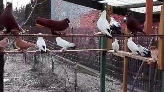Gołębie-Krymki,wywrotki wschodniopruskie..