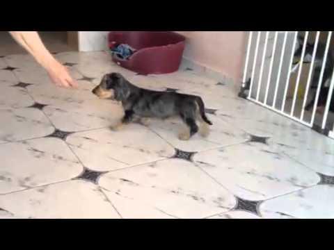 Wirehaired  standard dachshund - silver dapple female-puppy SAFIRA Iz NP - for sale