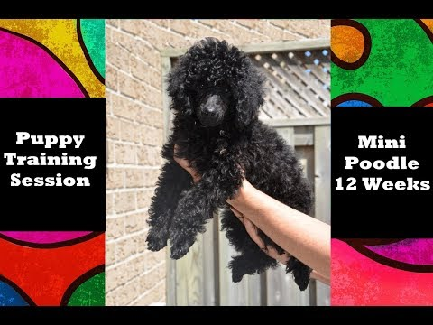 Training Session - Miniature Poodle Puppy 12 Weeks - Engagement, Target & Balance Training