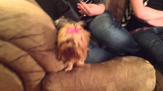 Warning!  2 Pound Killer Yorkie Attack Dog