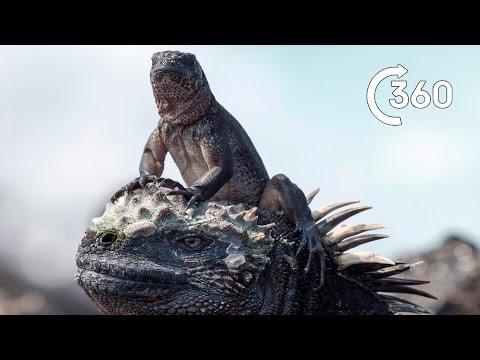 Iguana vs Snakes 360° - Planet Earth II - Behind the Scenes