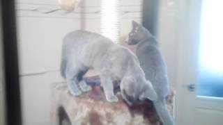 Русские голубые котята осваивают новую когтеточку