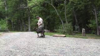 Winston Salem Puppy Training   Doberman Pinscher Smokey
