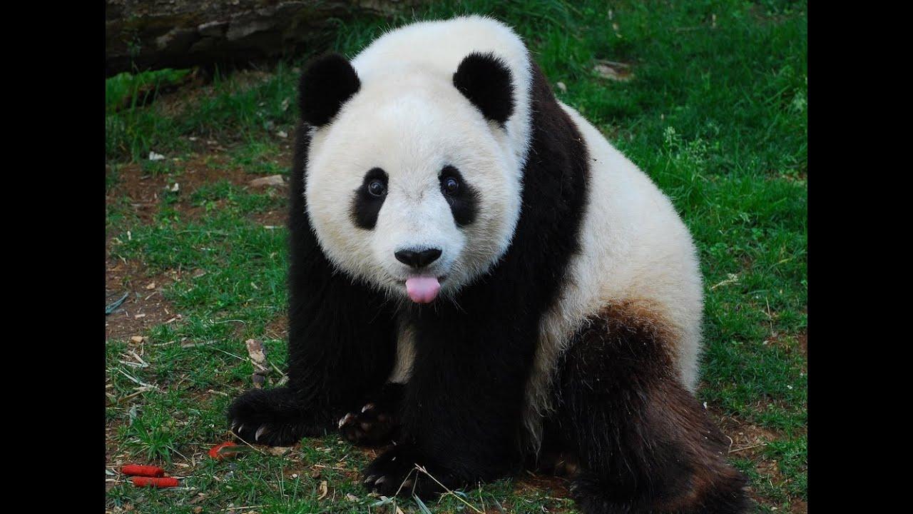 giant pandas in america